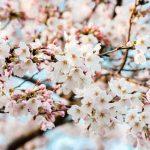 常盤平桜祭り2017年のスケジュールはいつ?駐車場や交通規制は?