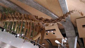 ブラキオサウルスやカマラサウルスの骨格